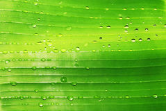 Water drops on green leaf. Closeup of water drops on lush green banana leaf Royalty Free Stock Photos