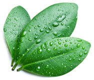 Water drops on a green leaf. Stock Images