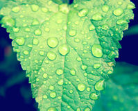 Water drops on green leaf. Close up of water beaded on green leaf Royalty Free Stock Image