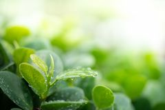 Water drops on green leaf for nature and freshness background stock image
