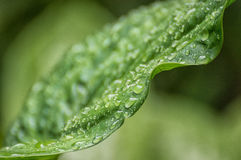 Water drops on green leaf. After rain Stock Photography