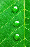 Water Drops on a Green Leaf  / Super Macro Stock Photo