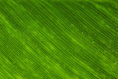 Water drops on the green leaf texture Royalty Free Stock Photo