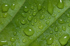 Water drops on green leafs background abstract Stock Photography