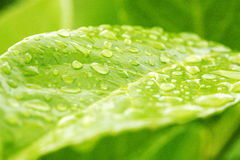 Water Drops on a green leave Royalty Free Stock Images