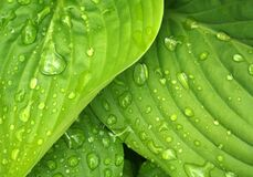 Water drops on green leaves Stock Photo