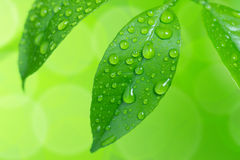 Water drops on green leaves Royalty Free Stock Photo