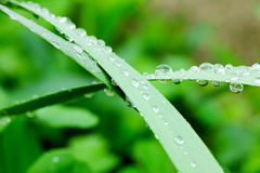 Water drops on green leaves Royalty Free Stock Photography