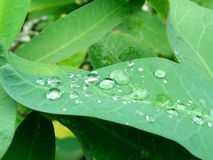 Water drops on green leaves Stock Images
