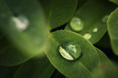 Water drops on green leaves Royalty Free Stock Images
