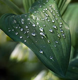 Water drops on green leaves. After a rain Royalty Free Stock Photos