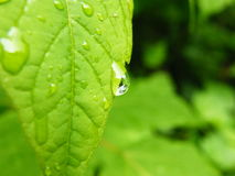 Water drops on green leaves. Drops on green leaves after rain, reflection Stock Photos
