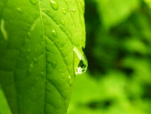 Water drops on green leaves. Drops on green leaves after rain, reflection Royalty Free Stock Photo