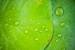 Water drops on Green lotus leaf Royalty Free Stock Photo