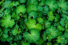 Water drops on a green plant Alchemilla lady`s mantle after rain in the garden, top view stock photography