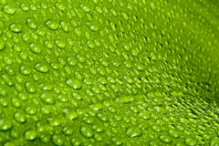 Water drops on green plant leaf Stock Image