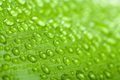 Water drops on green plant leaf Royalty Free Stock Photo