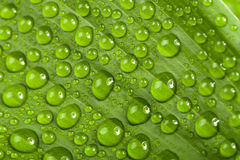 Water drops on green plant leaf Royalty Free Stock Images