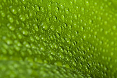 Water drops on green plant leaf Royalty Free Stock Image