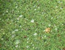 Droplets on pond ferns stock images