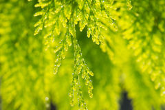Water drops on green tree. Water drops on green tree in the morning Stock Photography