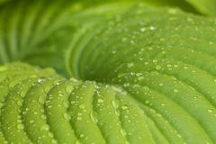 Water drops on a hosta green  leaf Royalty Free Stock Images