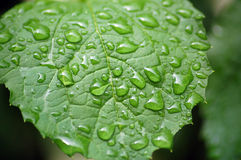 Water drops on jasmin leaf. Water drops after rain on jasmin leaf Royalty Free Stock Images