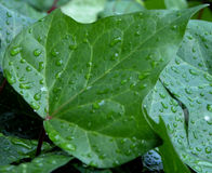 Water drops on a leaf. Morning time for a leaf Stock Photography