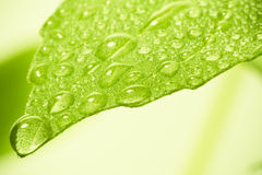 Water drops on leaf. Stock Image