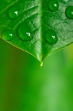 Water Drops on Leaf Stock Images