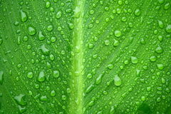 Water drops on leaf. Closeup of green leaf with water drops from dew and veins Royalty Free Stock Photography