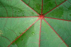 Water drops on leaf. Closeup of green leaf with water drops from dew and veins Stock Images