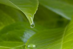 Water drops from leaf Royalty Free Stock Photography