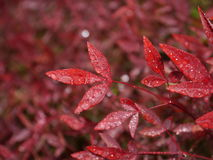 Water drops on a leaf. Water drops on a red leaf Stock Photo