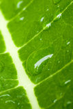 Water Drops on a Leaf Royalty Free Stock Images