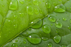Water drops on a leaf. Water drops on a fresh green leaf Royalty Free Stock Photography