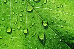 Water drops on Leaf. Rain drops on a natural green leaf - great for background royalty free stock photo