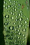 Water drops on a leaf. Morning water drops on green grass baldes Royalty Free Stock Photo