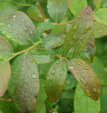 Water drops on a leaf blueberry, South Bohemia. Czech Republic Stock Photography
