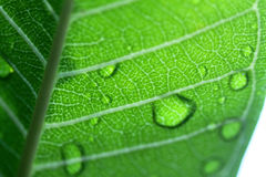 Water drops on leaf closeup Royalty Free Stock Photo