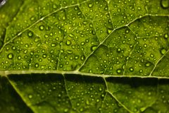 Water drops on leaf. Water drops leaf dew rain veins leaves green lush plant royalty free stock photos