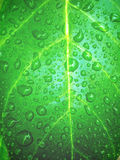 Water drops in leaf Royalty Free Stock Image