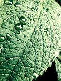 Water drops on a leaf Royalty Free Stock Photo