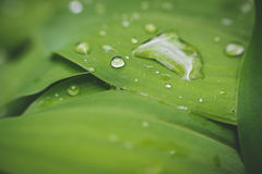 Water drops on leaf of lily of the valley. Stock Images