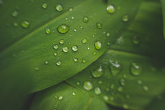 Water drops on leaf of lily of the valley. Stock Photo