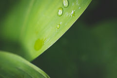 Water drops on leaf of lily of the valley. Royalty Free Stock Photos