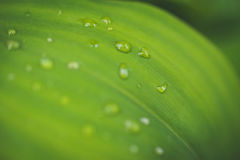 Water drops on leaf of lily of the valley. Stock Photos