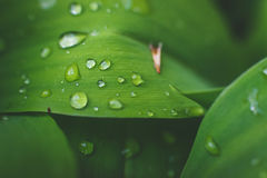 Water drops on leaf of lily of the valley. Stock Photography