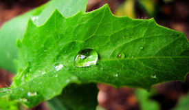 Water Drops on a Leaf Macro. Drops of water on a bright green leaf closeup Royalty Free Stock Image