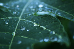 Water drops on leaf Royalty Free Stock Image
